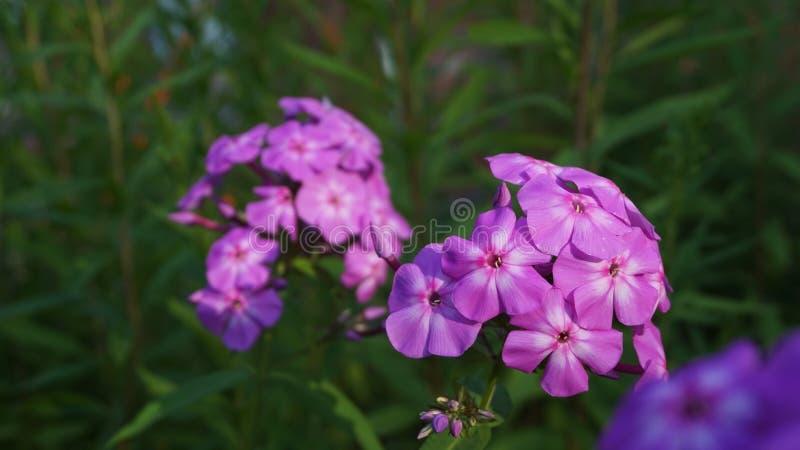 Flores púrpuras del primer del polemonio del jardín imágenes de archivo libres de regalías
