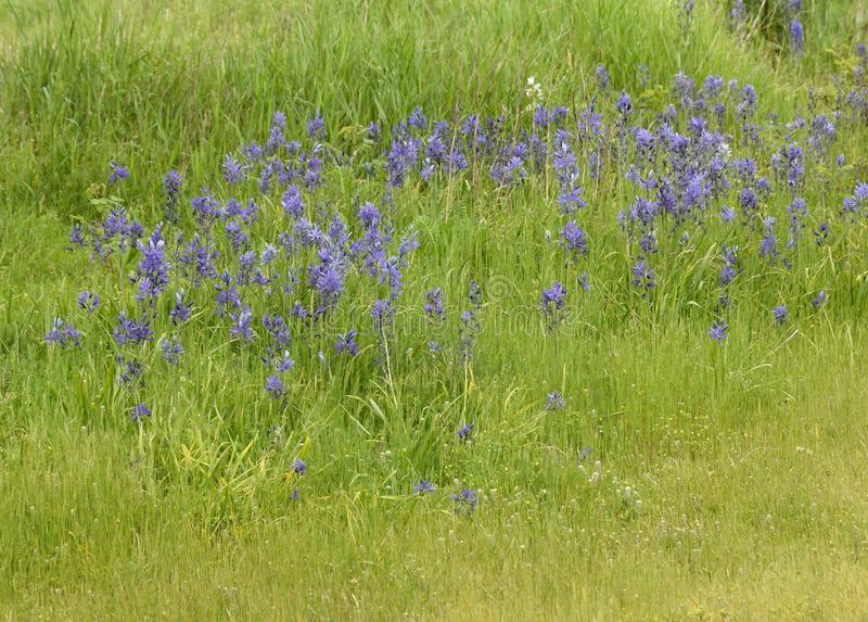 Flores púrpuras del quamash del Camassia en el prado foto de archivo