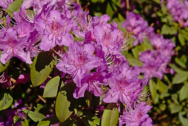 Flores púrpuras del rododendro, cierre para arriba imagenes de archivo