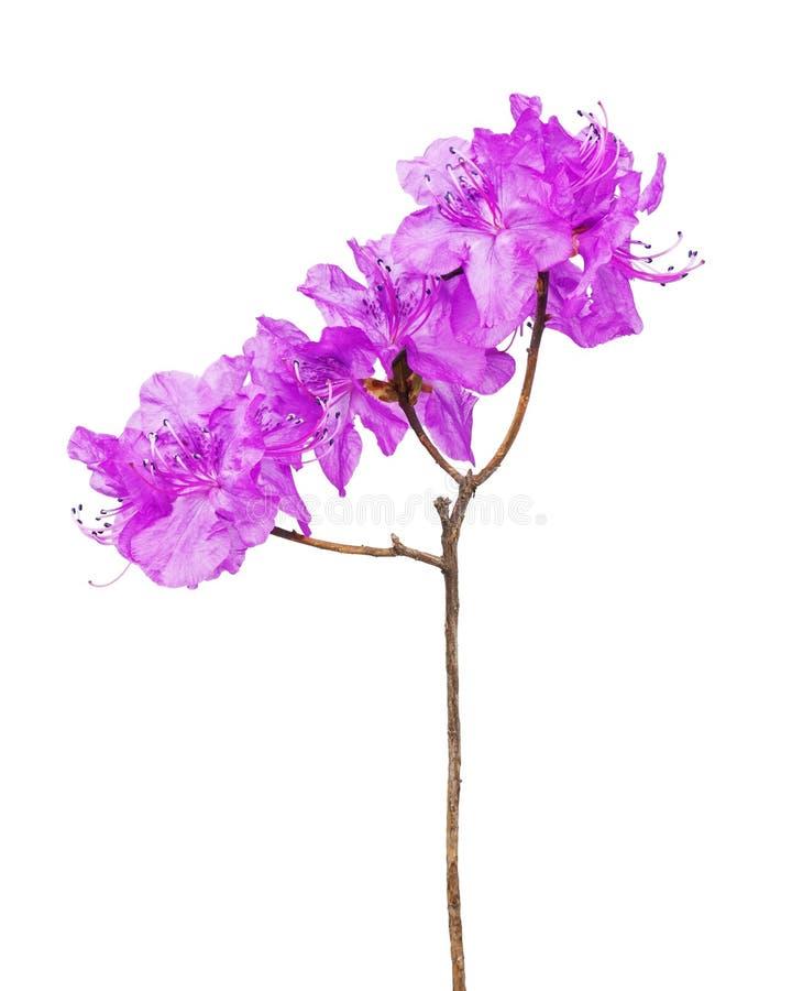 Flores púrpuras del rododendro en rama imagenes de archivo