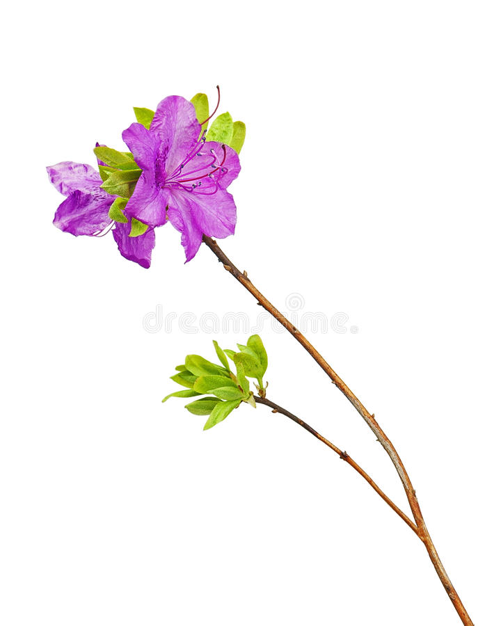 Flores púrpuras del rododendro en rama imagen de archivo