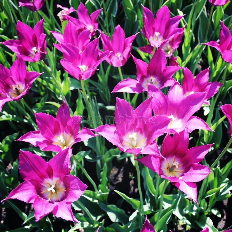Flores púrpuras del tulipán Foto de la vendimia primer fotografía de archivo libre de regalías