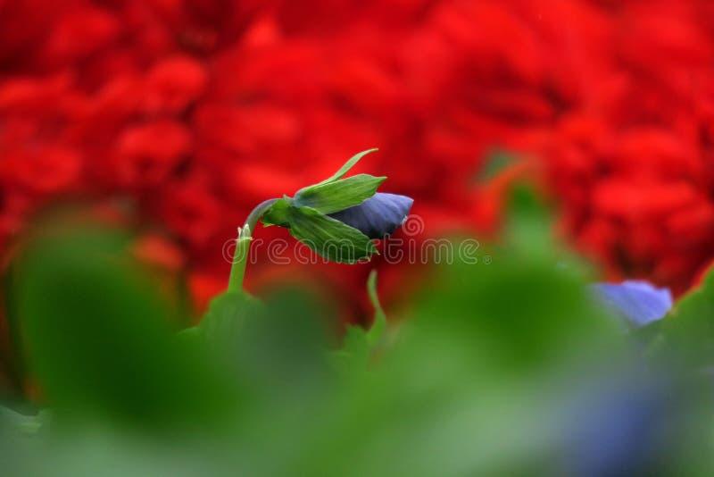 """Flores púrpuras en ‰ del  del 花å del ² del ‰ del è del ç del """"del æ˜¥å¤©çš de la primavera """" imagenes de archivo"""