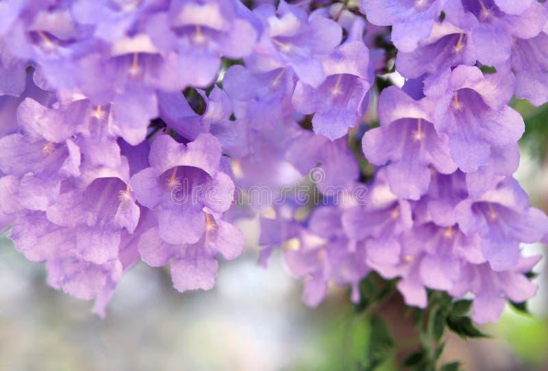 Flores púrpuras en el árbol del Jacaranda imagen de archivo