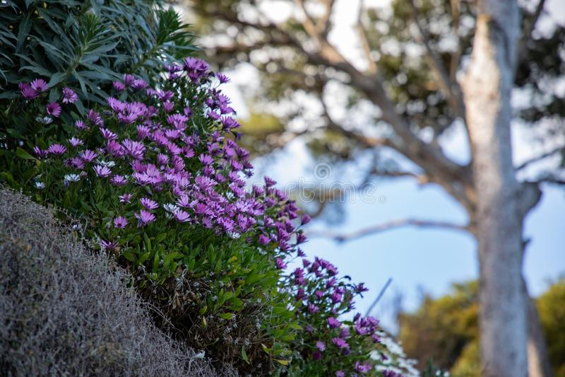 Flores púrpuras en la colina con el árbol borroso en fondo imagen de archivo