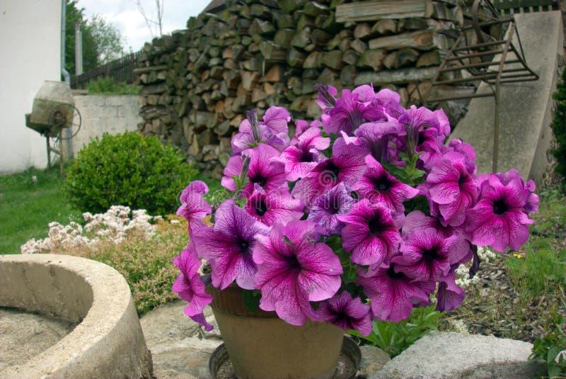 Flores púrpuras en nuestro jardín imágenes de archivo libres de regalías