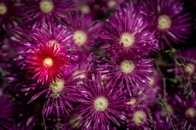 Flores púrpuras en racimo con solo rojo fotos de archivo