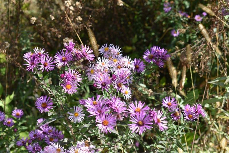 Flores púrpuras en Sun parcial con las abejas fotografía de archivo libre de regalías