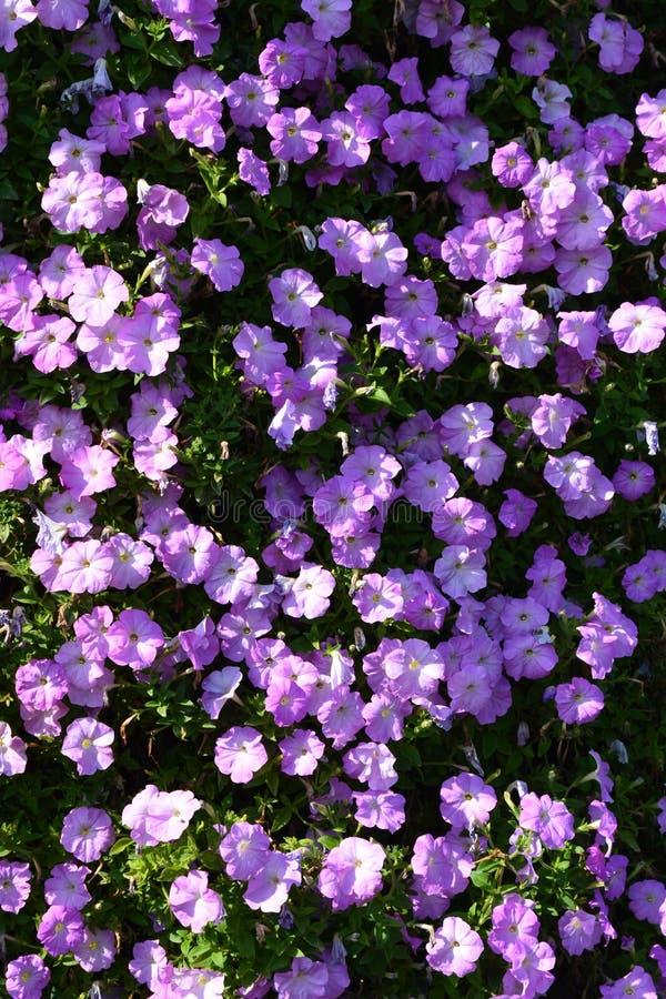 Flores púrpuras en un arbusto imágenes de archivo libres de regalías