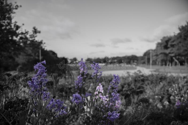 Flores púrpuras en un mundo blanco y negro imágenes de archivo libres de regalías