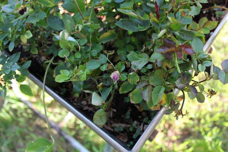 Flores púrpuras encima de la yarda cercana c fotografía de archivo