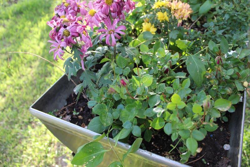 Flores púrpuras encima de la yarda cercana e imagen de archivo libre de regalías