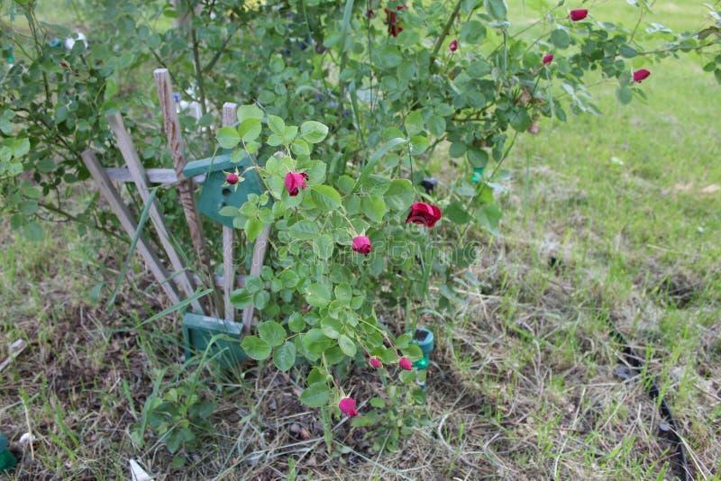 Flores púrpuras encima de la yarda cercana m fotografía de archivo libre de regalías