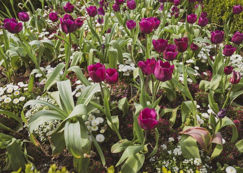 Flores púrpuras florecientes de los tulipanes con las hojas verdes en el fondo foto de archivo