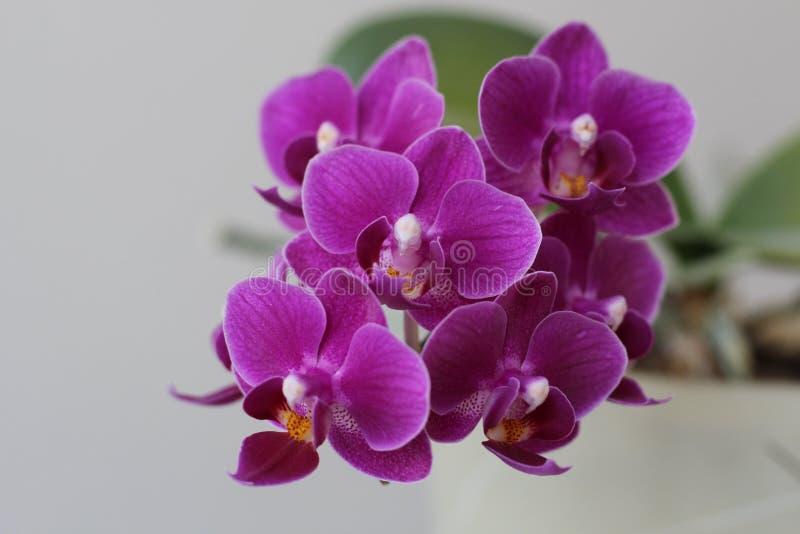 Flores púrpuras florecientes hermosas de la orquídea en primavera temprana foto de archivo libre de regalías