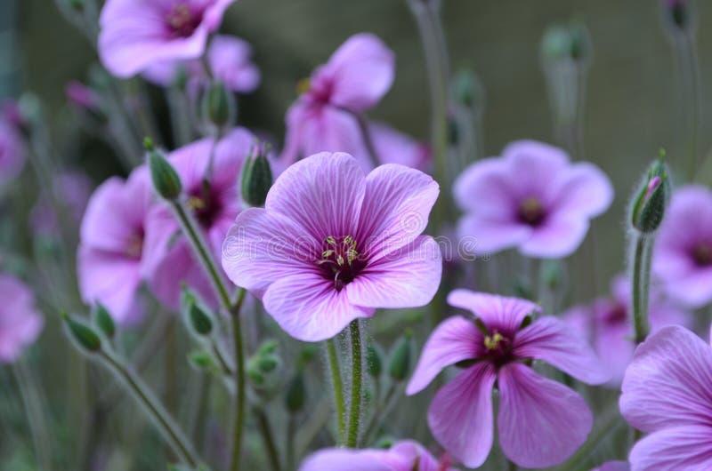 Flores púrpuras florecientes hermosas del geranio en un jardín foto de archivo libre de regalías