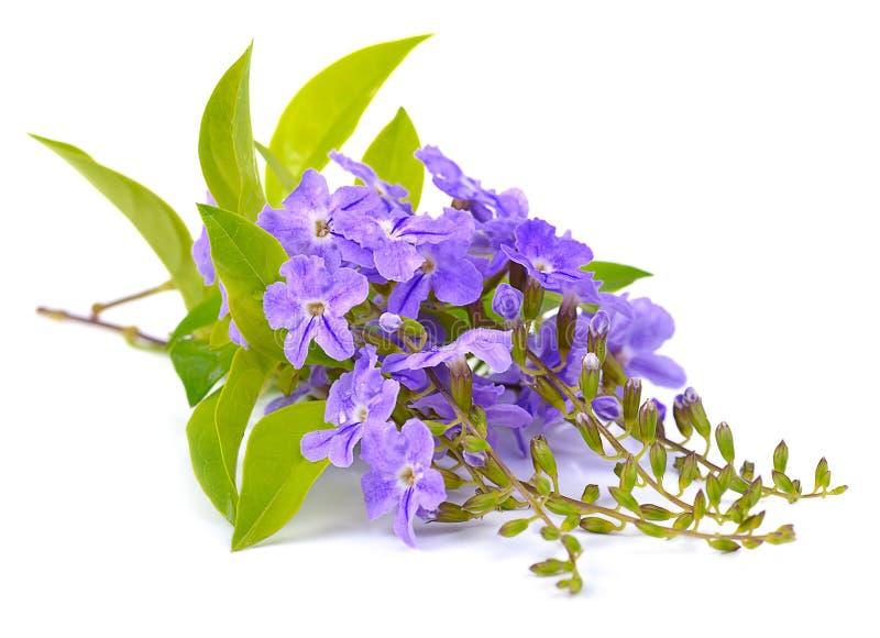 Flores púrpuras frescas aisladas en un fondo blanco imagen de archivo libre de regalías