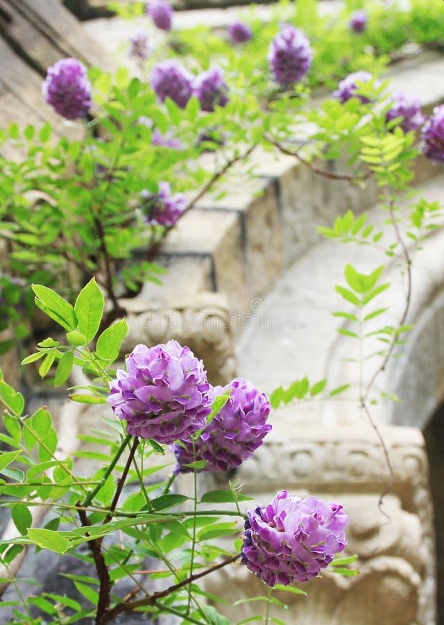 Flores púrpuras, glicinias florecientes imagenes de archivo