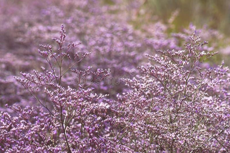 Flores púrpuras hermosas de la lavanda de mar imagen de archivo libre de regalías