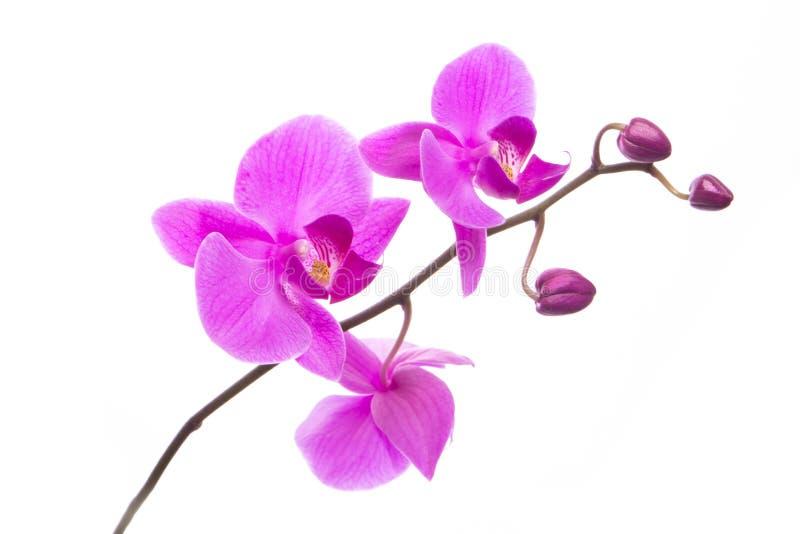 Flores púrpuras hermosas de la orquídea del Phalaenopsis, aisladas en el fondo blanco fotografía de archivo libre de regalías