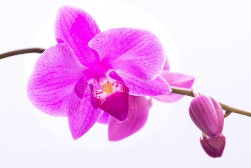 Flores púrpuras hermosas de la orquídea del Phalaenopsis, aisladas en el fondo blanco fotos de archivo