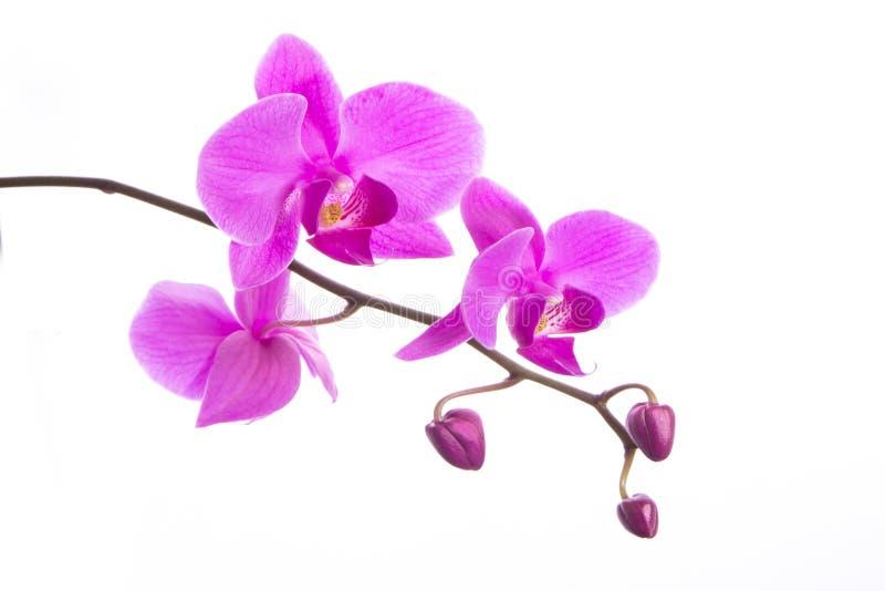 Flores púrpuras hermosas de la orquídea del Phalaenopsis, aisladas en el fondo blanco fotos de archivo libres de regalías