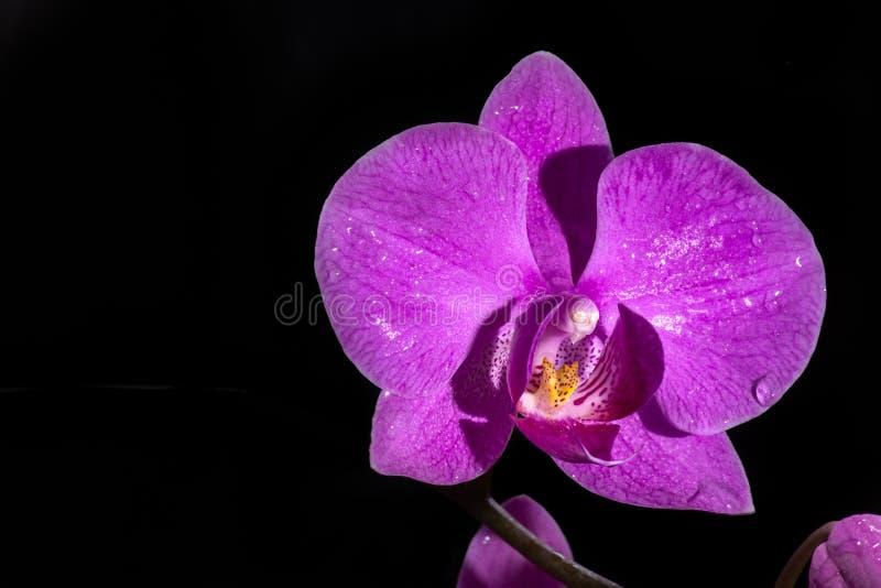 Flores púrpuras hermosas de la orquídea del Phalaenopsis, aisladas en fondo negro foto de archivo libre de regalías