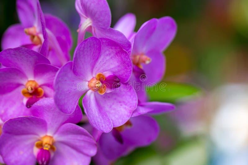Flores púrpuras hermosas de la orquídea del Phalaenopsis con el fondo natural fotos de archivo libres de regalías