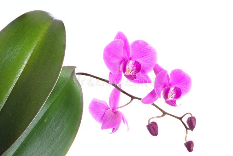 Flores púrpuras hermosas de la orquídea del Phalaenopsis y hojas verdes, aisladas en el fondo blanco imagen de archivo