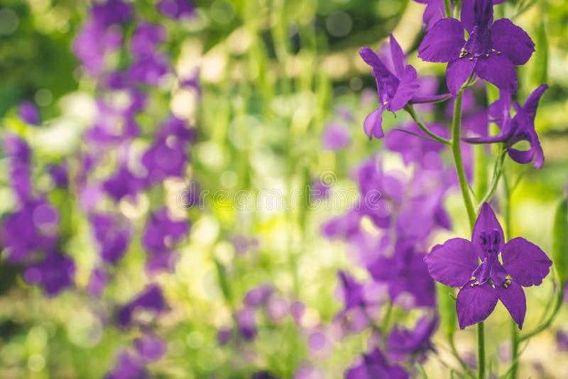 Flores púrpuras hermosas del delfinio en una naturaleza imagen de archivo libre de regalías