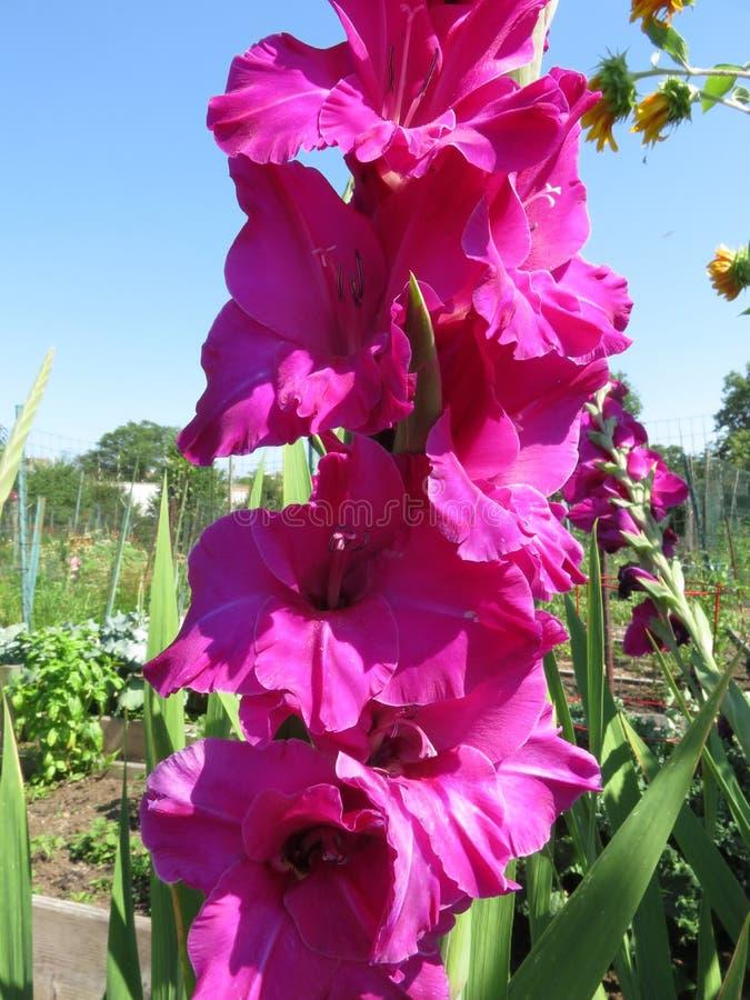 Flores púrpuras hermosas del gladiolo durante julio fotografía de archivo libre de regalías