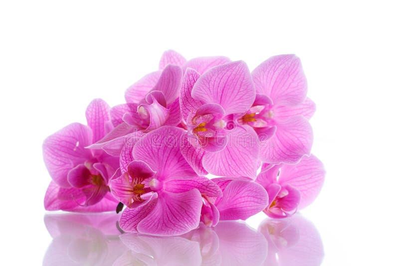 Flores púrpuras hermosas del phalaenopsis foto de archivo