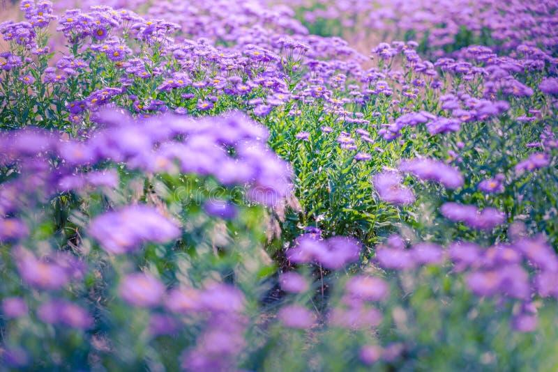 Flores púrpuras hermosas, fondo natural del verano, imagen borrosa Concepto inspirado de la naturaleza fotografía de archivo