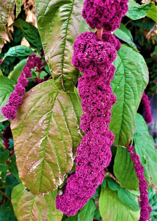 Flores púrpuras hermosos de una planta del amaranto imágenes de archivo libres de regalías