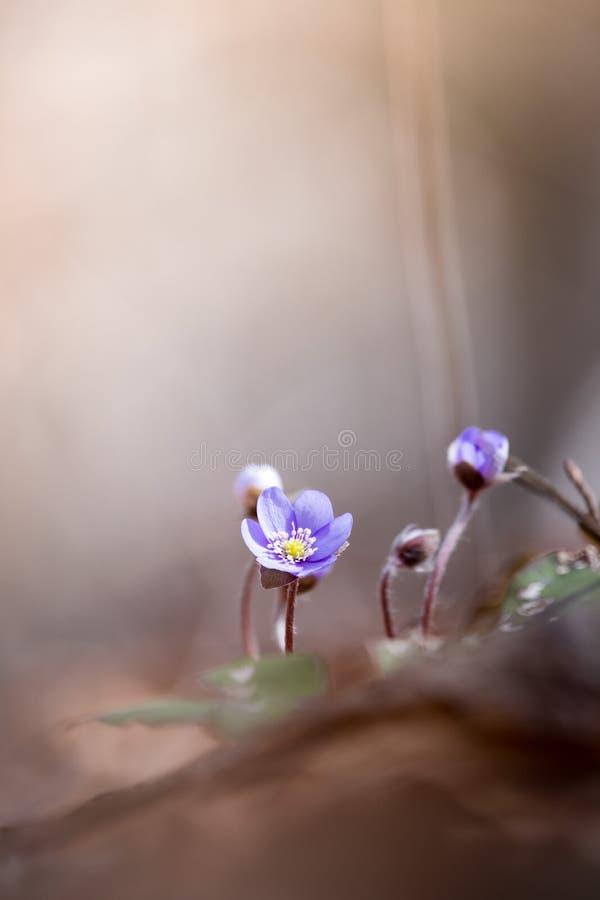 Flores púrpuras lindas en el bosque, tiempo de primavera, hepatica foto de archivo libre de regalías