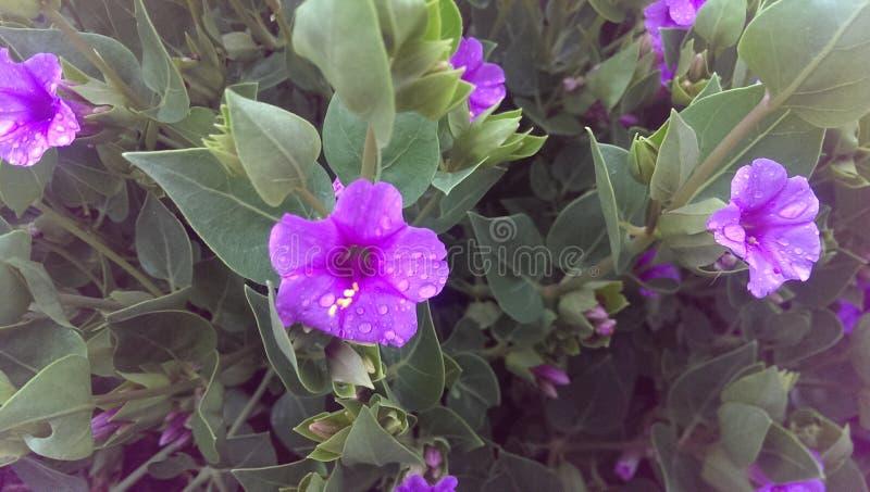 Flores púrpuras minúsculas imagenes de archivo