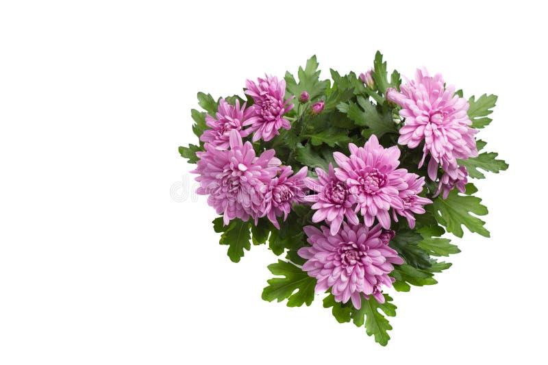 Flores púrpuras o rosadas del crisantemo aisladas en el fondo blanco fotos de archivo libres de regalías