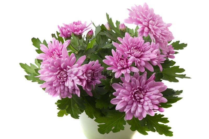 Flores púrpuras o rosadas del crisantemo aisladas en el fondo blanco imagen de archivo