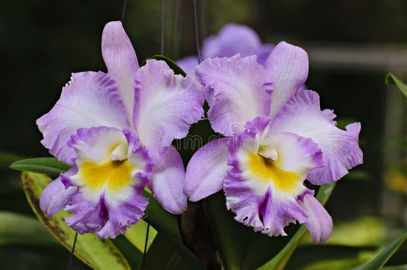 Flores púrpuras pálidas de la orquídea del cattleya fotografía de archivo