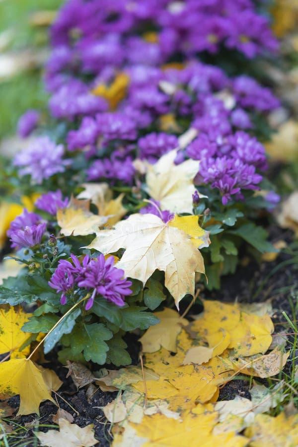 Flores púrpuras pintorescas brillantes en un macizo de flores de la calle un día soleado y hojas caidas del marple, el cambio de  foto de archivo libre de regalías
