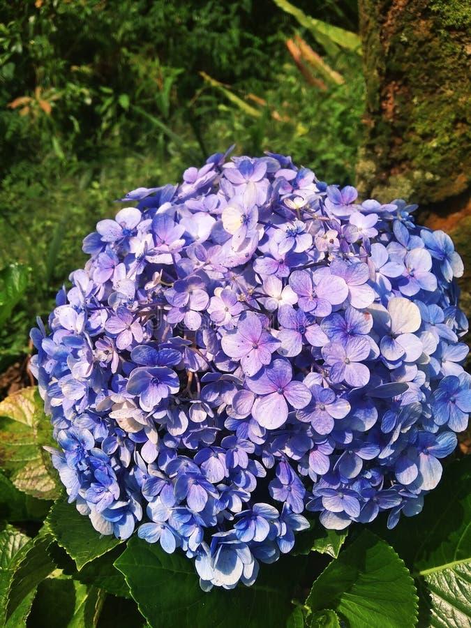 Flores púrpuras que están en la floración perfecta fotografía de archivo