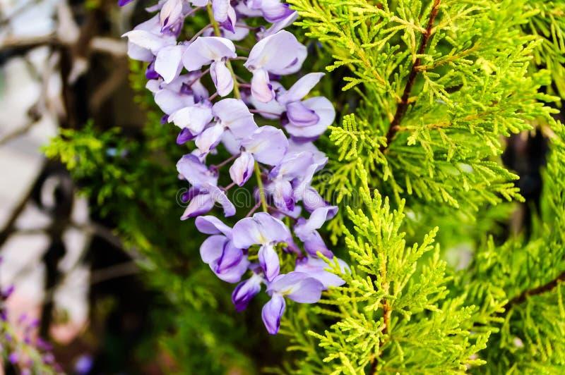 Flores púrpuras salvajes con el fondo suave del foco foto de archivo libre de regalías