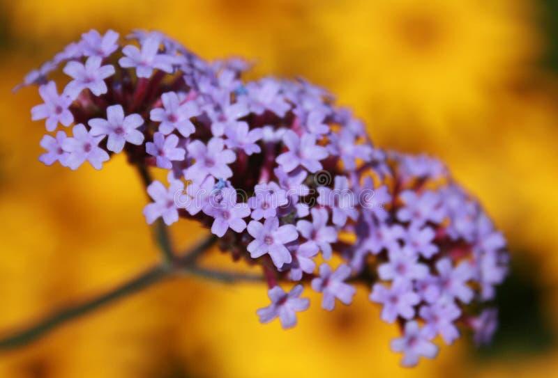 Flores púrpuras y amarillas fotografía de archivo libre de regalías