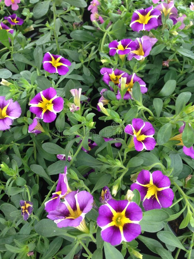 Flores púrpuras y amarillas de la petunia de Calibrachoa imagenes de archivo