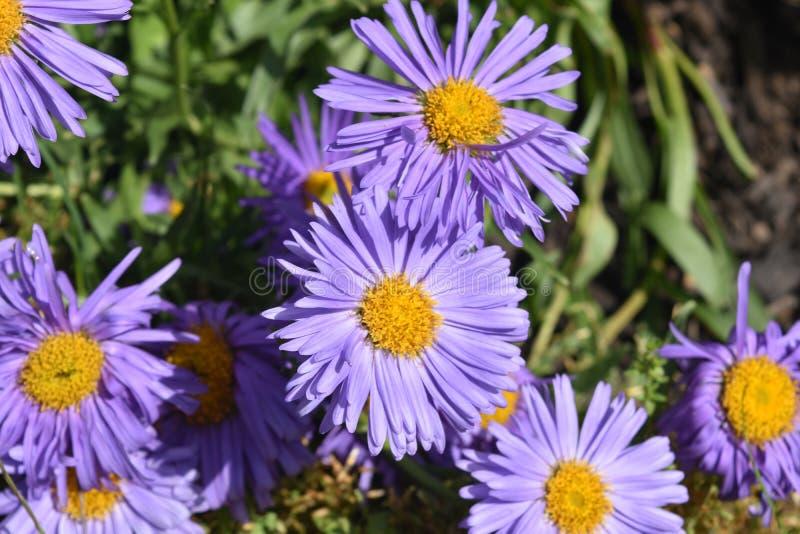 Flores púrpuras y amarillas hermosas del aster en naturaleza fotos de archivo libres de regalías