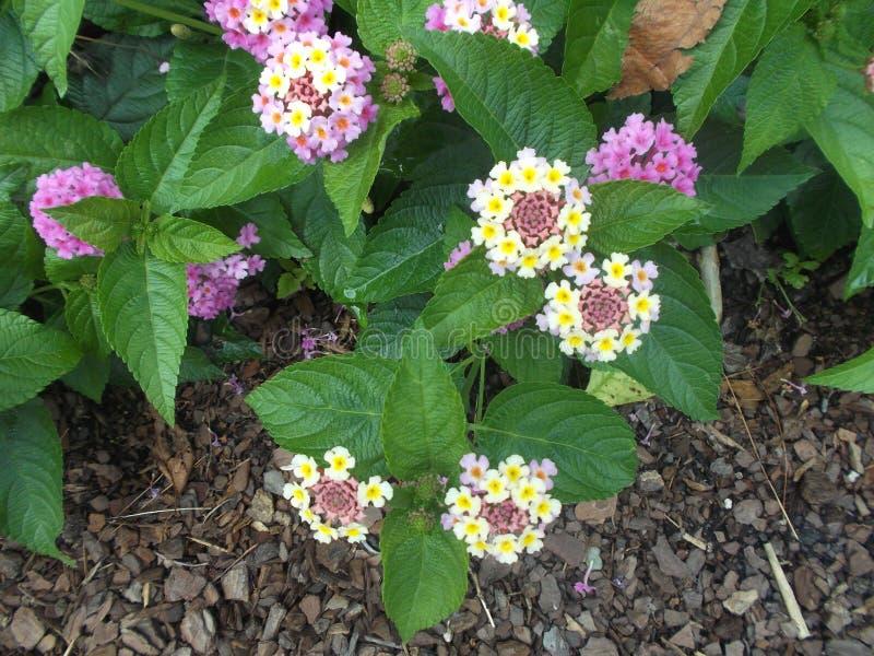 Flores púrpuras y blancas fotografía de archivo