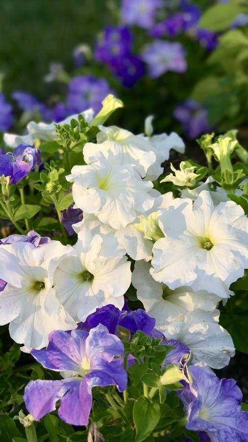 Flores púrpuras y blancas fotos de archivo