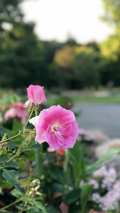 Flores púrpuras y blancas foto de archivo libre de regalías