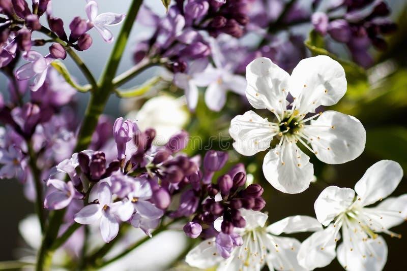 Flores púrpuras y blancas hermosas el tiempo de primavera imagenes de archivo