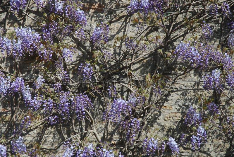 Flores púrpuras y pared de piedra fotografía de archivo libre de regalías